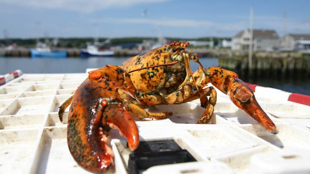Lobster fresh from the Sea in Louisbourg, Nova Scotia, Canada