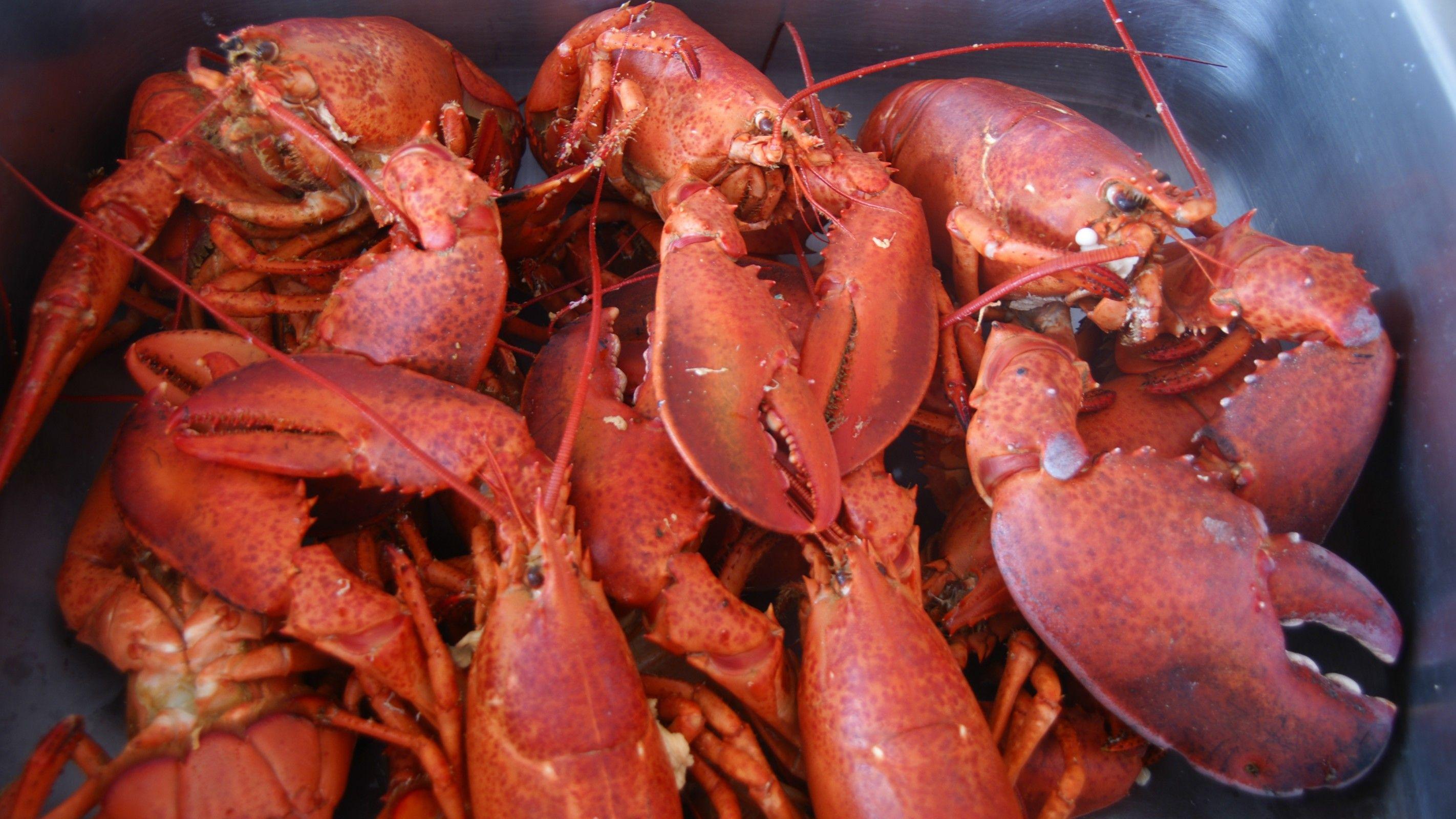 Cape Breton Lobster Fresh From Louisbourg, Nova Scotia, Canada