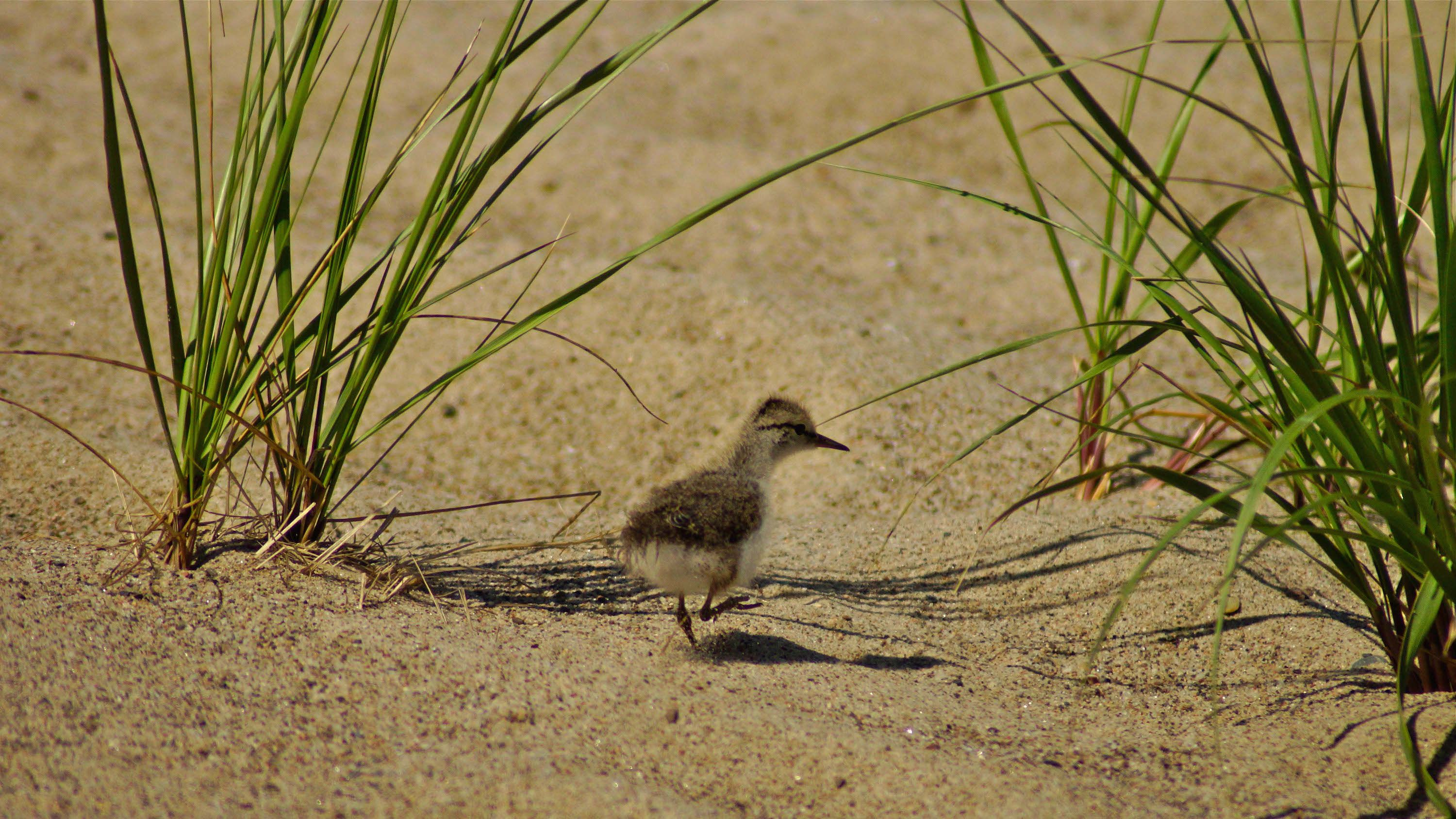 young shore bird on the beach in Louisbourg, Nova Scotia, Canada