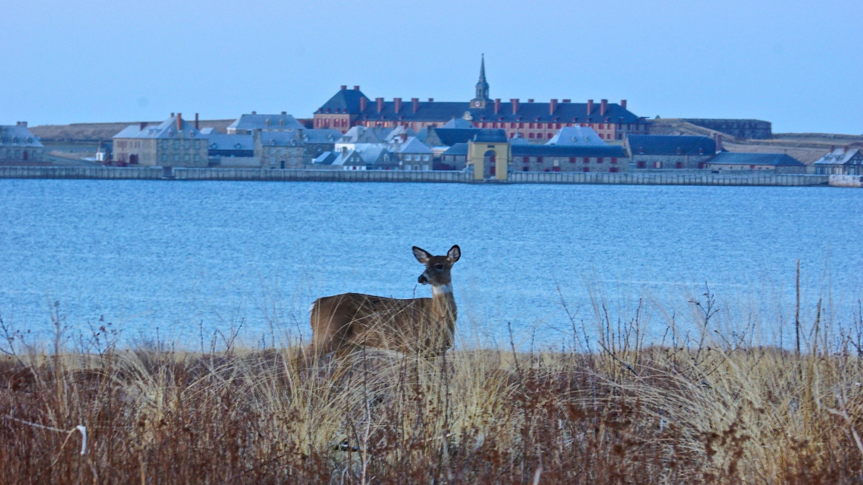 Deer in front of the Fortress of Louisbourg, Nova Scotia- Photo Credit- Ian Harte