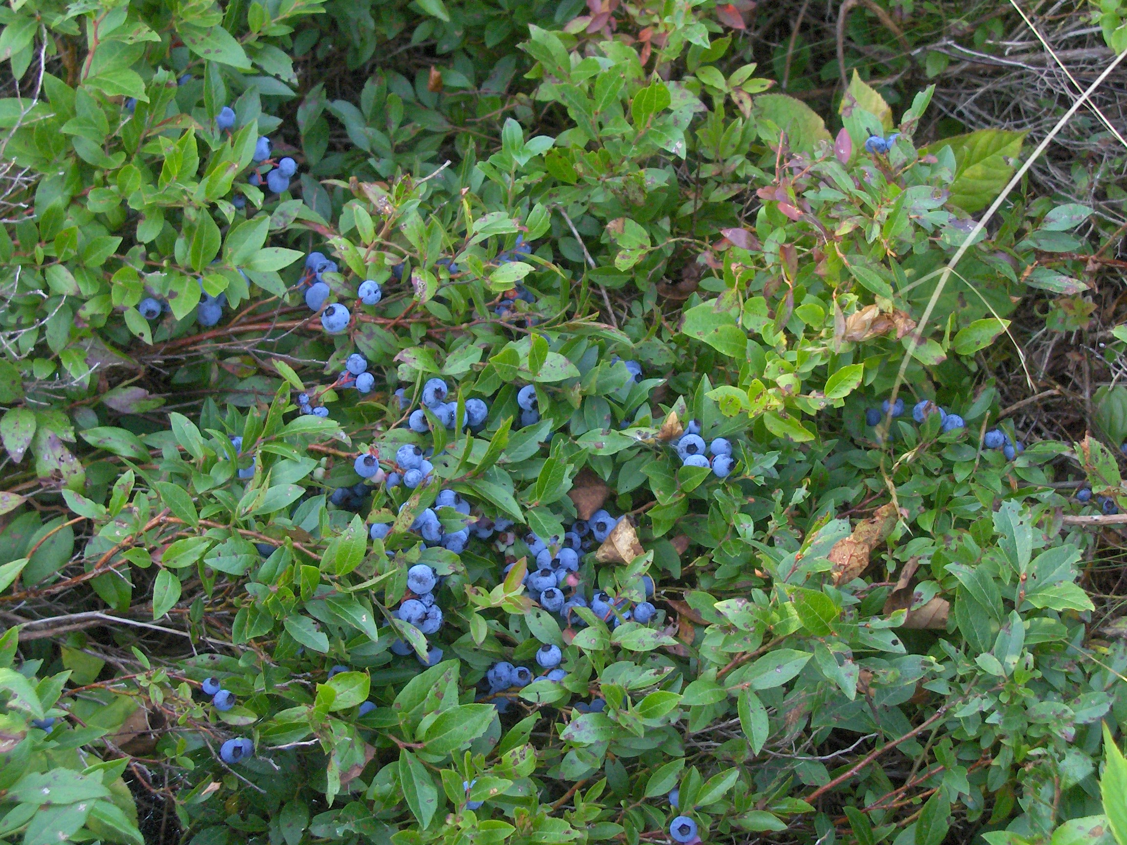 Wild Blueberries in Louisbourg, Nova Scotia. Photo Credit: Ian Harte.